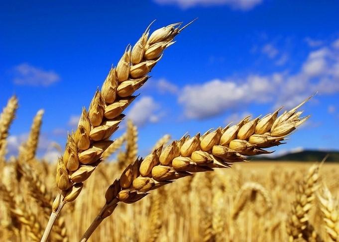 Мичуринские ученые вывели сорта зерновых культур высокого качества и урожайности